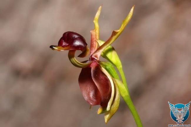 """Орхидея """"летящая утка"""""""