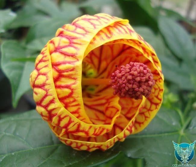 Китайский фонарик (Abutilon × hybridum)