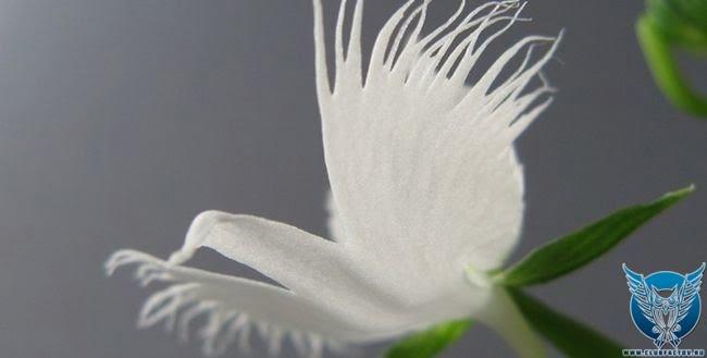 """Орхидея """"белая цапля"""" (Pecteilis radiata)"""