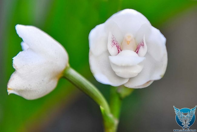 """Орхидея """"святой дух"""" (Peristeria elata)"""