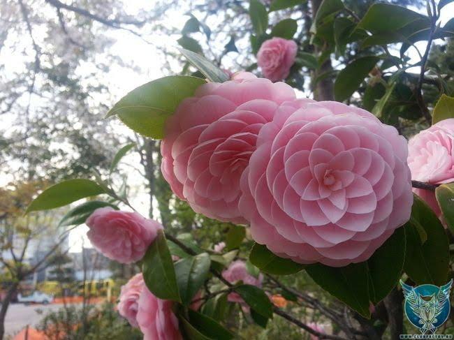 Японская камелия (Camellia Japonica)